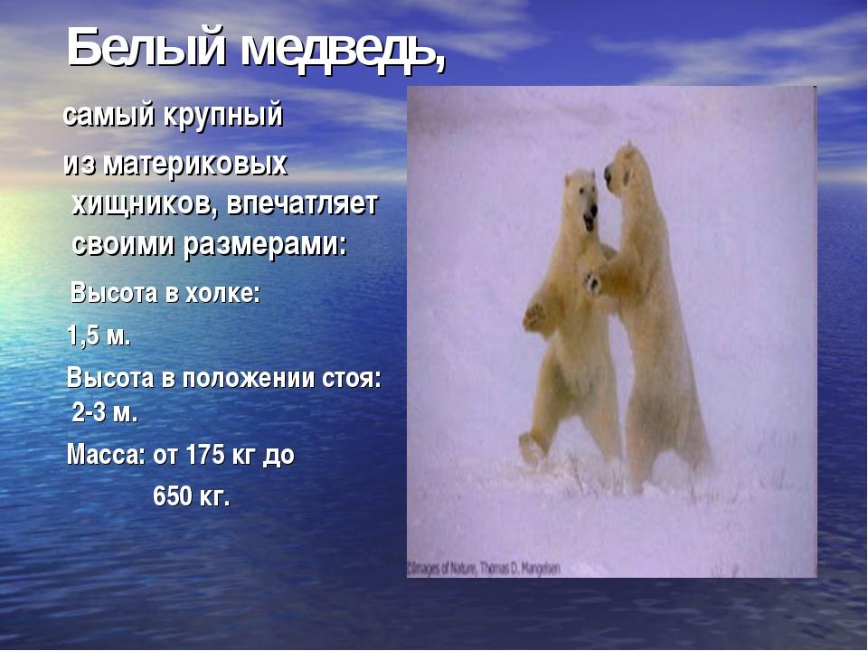 Белый медведь, самый крупный из материковых хищников, впечатляет своими разм...