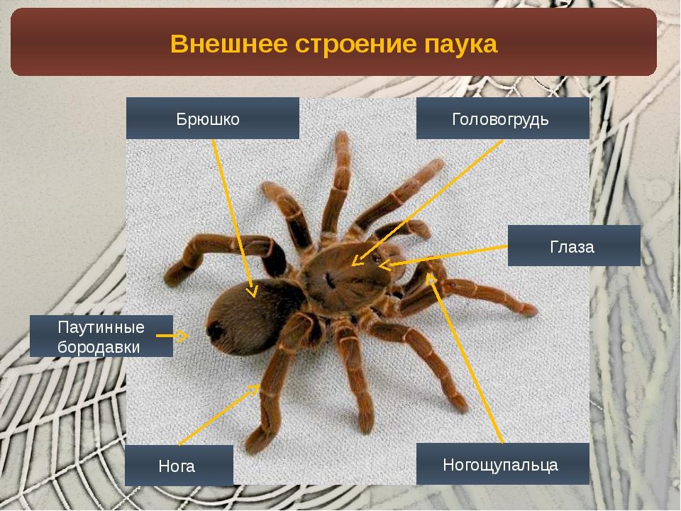 Картинки внутренней строение паук