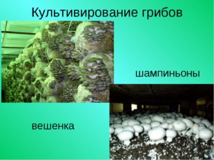 Культивирование грибов вешенка шампиньоны