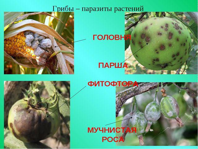 Грибы – паразиты растений ГОЛОВНЯ ПАРША ФИТОФТОРА МУЧНИСТАЯ РОСА