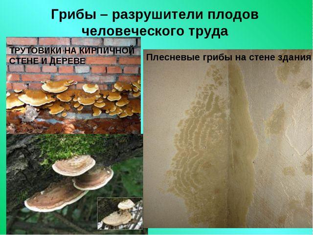 Грибы – разрушители плодов человеческого труда Плесневые грибы на стене здани...