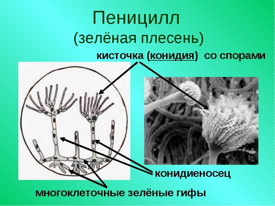 Пеницилл (зелёная плесень) кисточка (конидия) со спорами конидиеносец многокл...