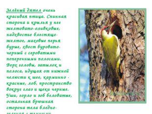 Зелёный дятел очень красивая птица. Спинная сторона и крылья у нее желтовато-