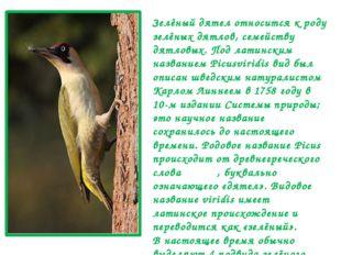 Зелёный дятел относится к роду зелёных дятлов, семейству дятловых. Под латинс