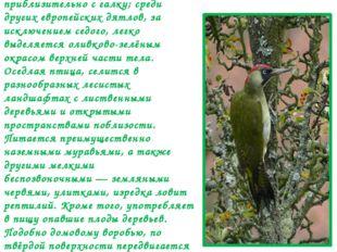 Зелёный дя́тел (лат.Picus viridis)— птица семейства дятловых, Размером приб