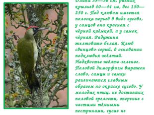 Кричат птицы обоих полов в течение года, при этом их репертуар друг от друга