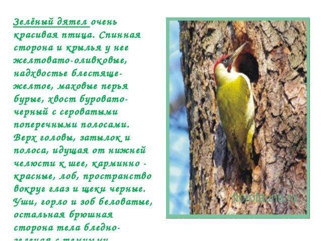 Зелёный дятел очень красивая птица. Спинная сторона и крылья у нее желтовато-...