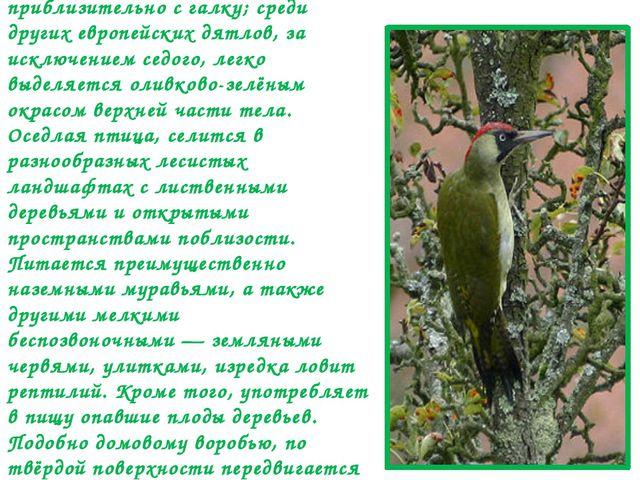 Зелёный дя́тел (лат.Picus viridis)— птица семейства дятловых, Размером приб...