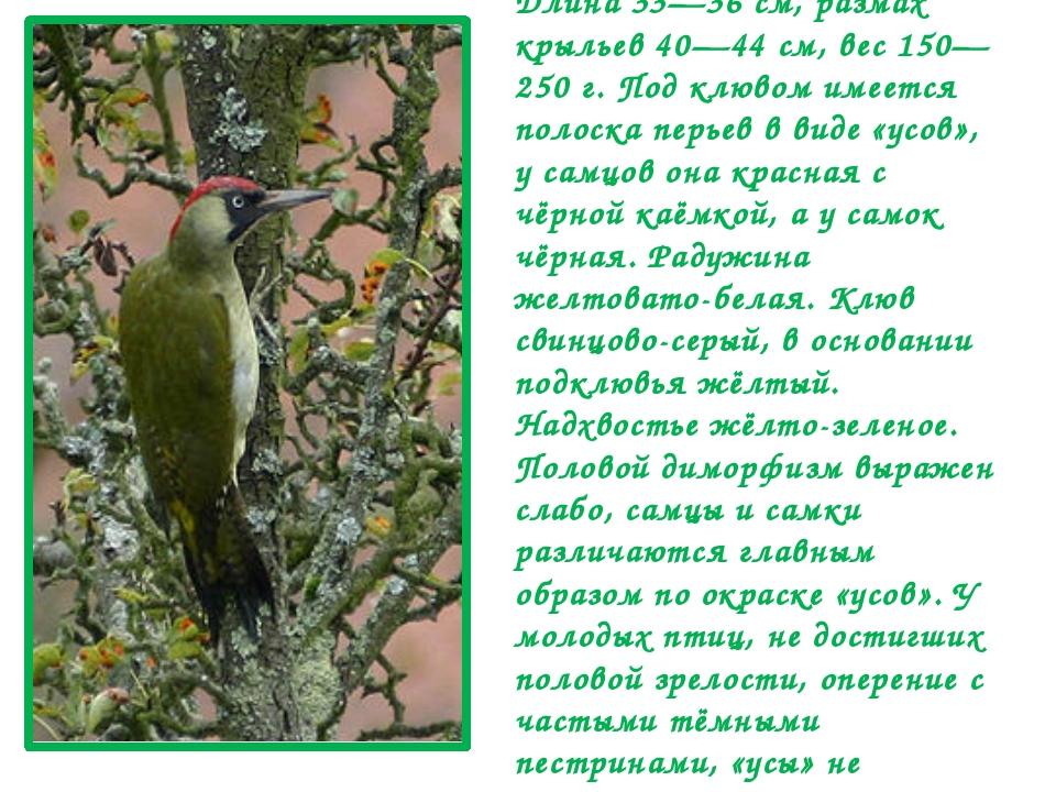 Кричат птицы обоих полов в течение года, при этом их репертуар друг от друга...