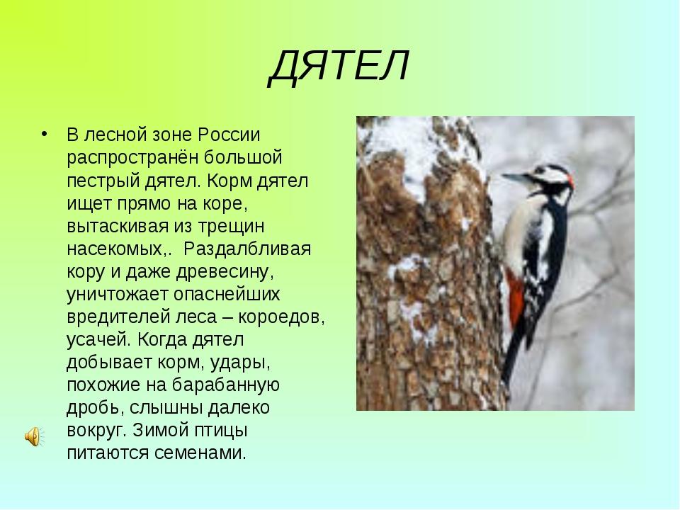 ДЯТЕЛ В лесной зоне России распространён большой пестрый дятел. Корм дятел ищ...