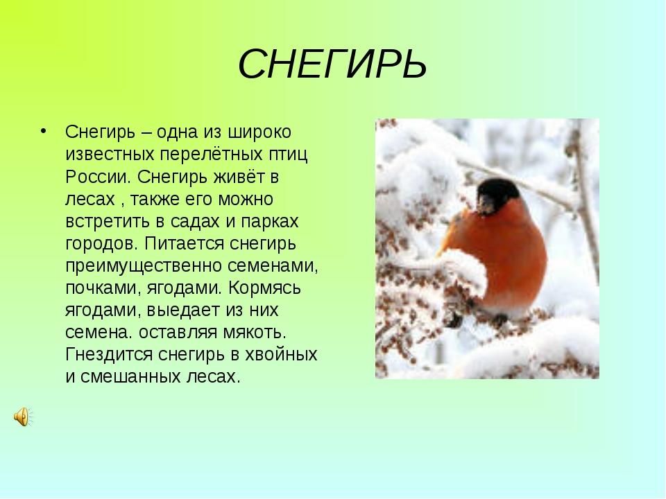 СНЕГИРЬ Снегирь – одна из широко известных перелётных птиц России. Снегирь жи...