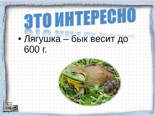 Лягушка – бык весит до 600 г.