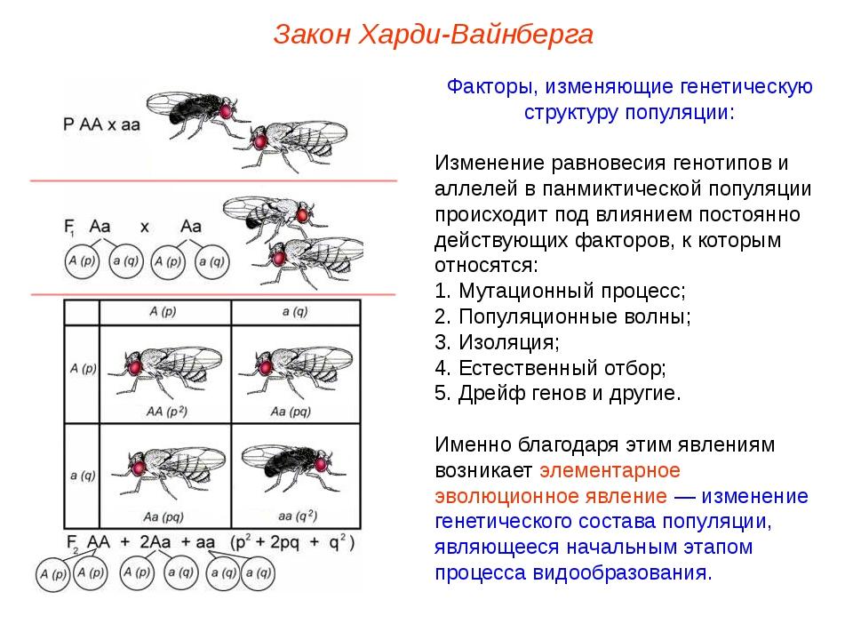 Закон Харди-Вайнберга Факторы, изменяющие генетическую структуру популяции: И...