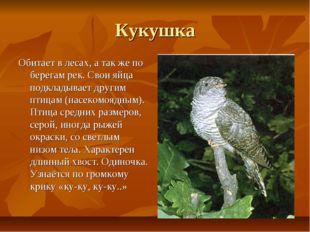 Кукушка Обитает в лесах, а так же по берегам рек. Свои яйца подкладывает друг