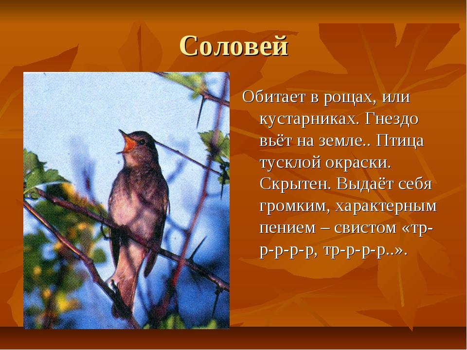 Соловей Обитает в рощах, или кустарниках. Гнездо вьёт на земле.. Птица тускло...