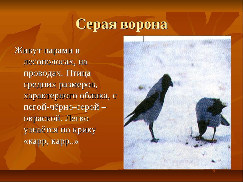 Серая ворона Живут парами в лесополосах, на проводах. Птица средних размеров,...