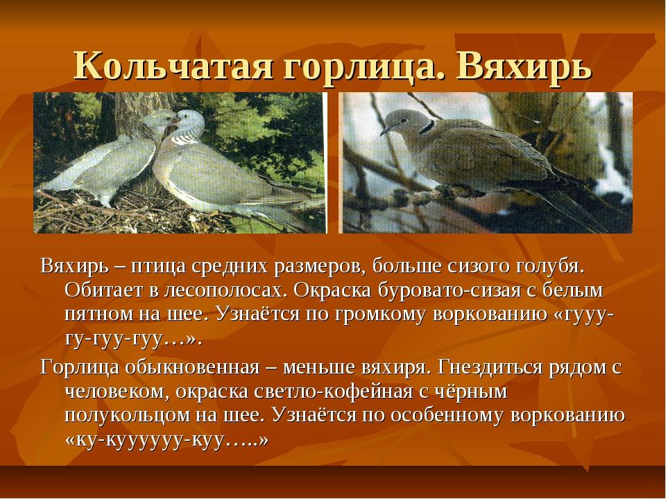 Кольчатая горлица. Вяхирь Вяхирь – птица средних размеров, больше сизого голу...