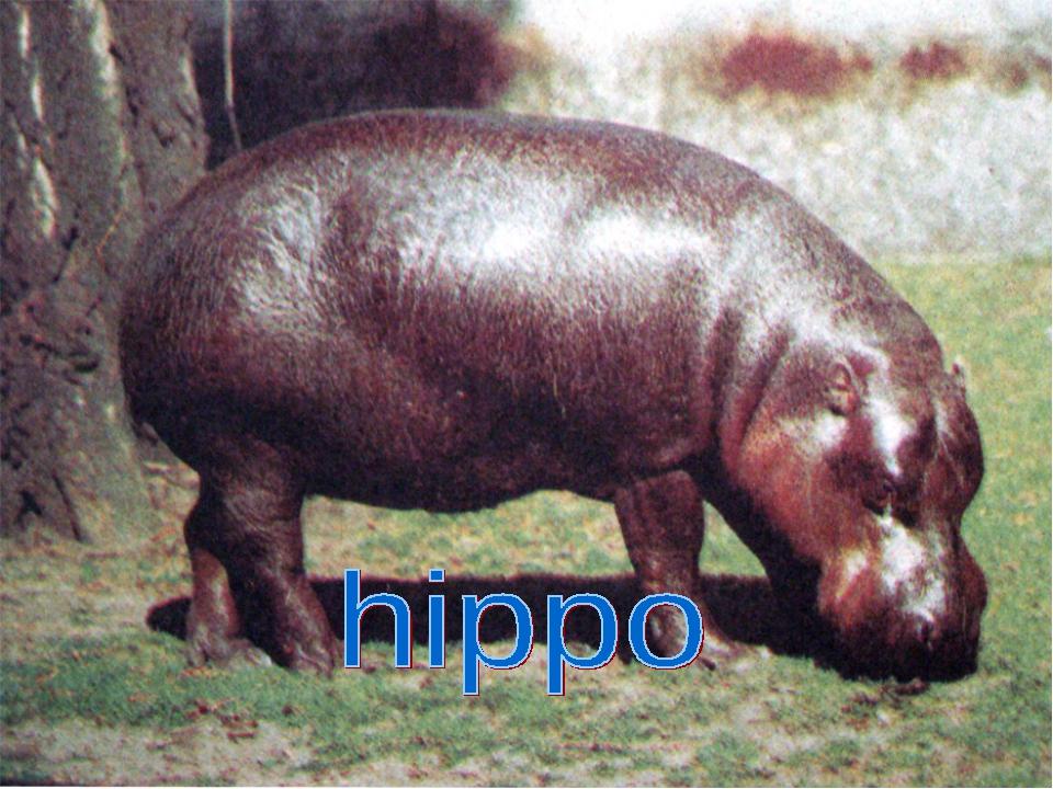 It is a wild animal. It is grey. It lives in Africa. It can swim It is very b...