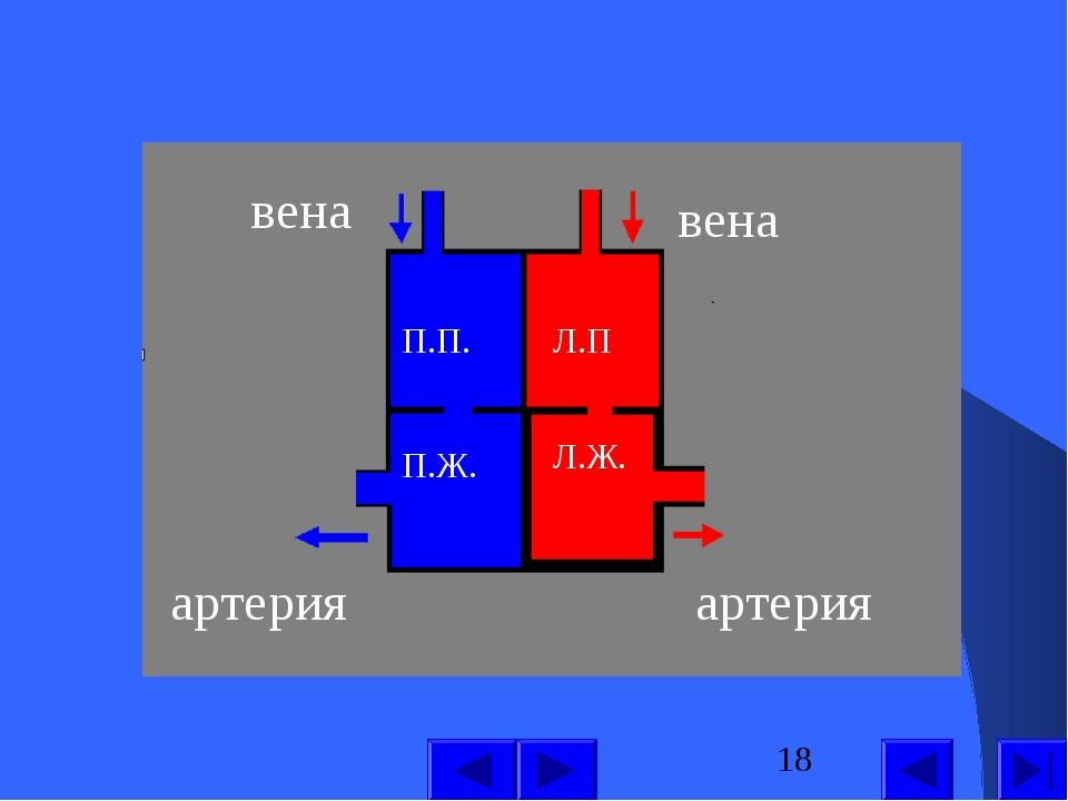 П.П. П.Ж. Л.П Л.Ж. вена вена артерия артерия