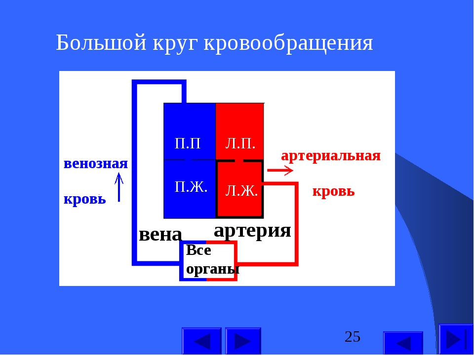 Большой круг кровообращения П.П П.Ж. Л.П. Л.Ж. Все органы артерия вена артери...
