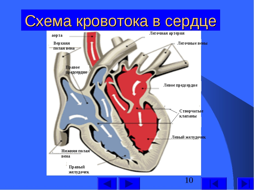 Схема кровотока в сердце Левый желудочек Левое предсердие Легочные вены Легоч...