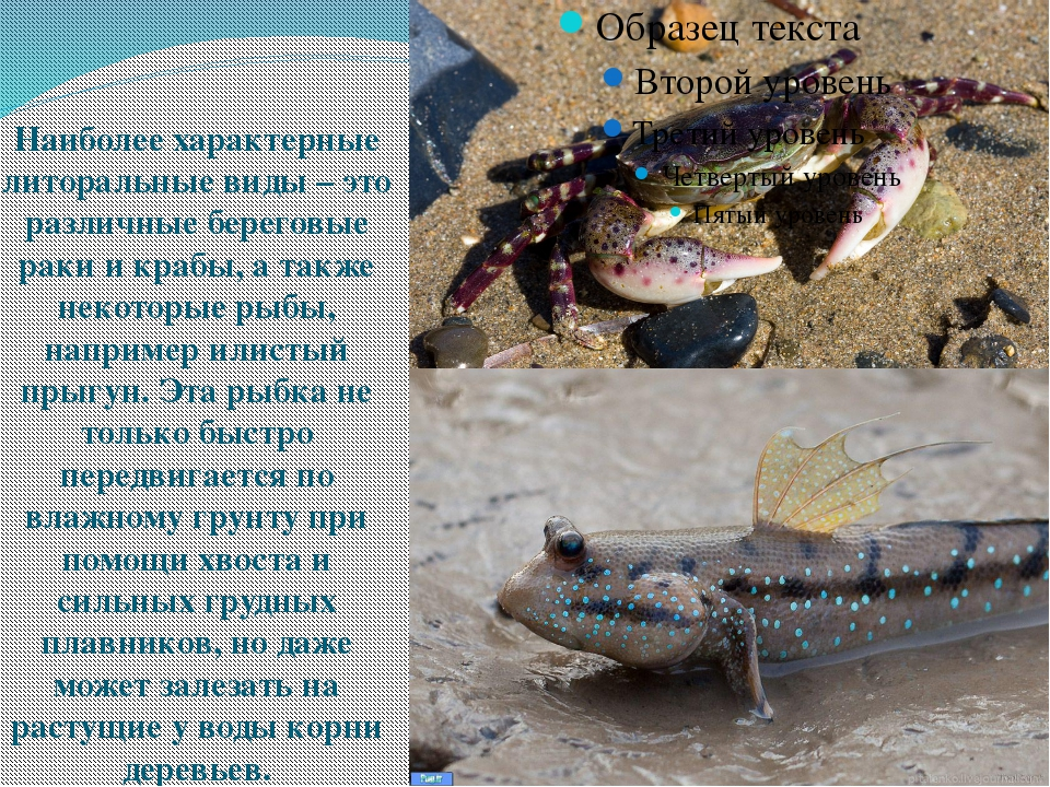 Наиболее характерные литоральные виды – это различные береговые раки и крабы...