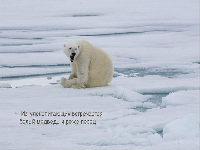 Из млекопитающих встречается белый медведь и реже песец