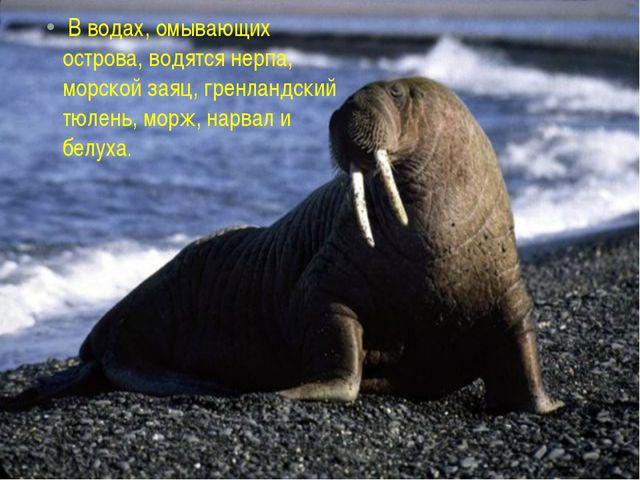 В водах, омывающих острова, водятся нерпа, морской заяц, гренландский тюлень...