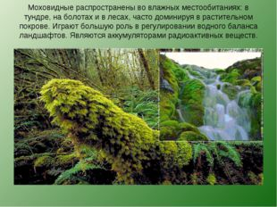 Моховидные распространены во влажных местообитаниях: в тундре, на болотах и в