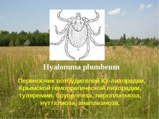 Hyalomma plumbeum Переносчик возбудителей КУ-лихорадки, Крымской геморрагичес