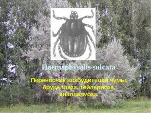 Haemaphysalis sulcata Переносчик возбудителей чумы, бруцеллеза, тейлериоза, а
