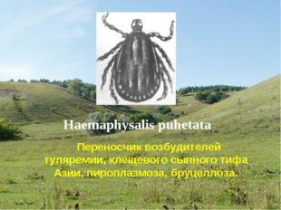 Haemaphysalis puhetata Переносчик возбудителей туляремии, клещевого сыпного т