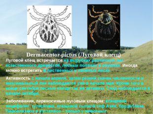 Луговой клещ встречается на вырубках различных лет естественного древостоя, л