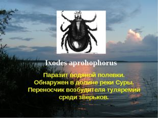 Ixodes aprohophorus Паразит водяной полевки. Обнаружен в долине реки Суры. Пе