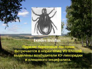 Ixodes lividus Паразит березовых ласточек. Встречается в норах птиц. Из клеще