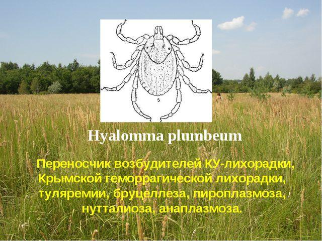 Hyalomma plumbeum Переносчик возбудителей КУ-лихорадки, Крымской геморрагичес...