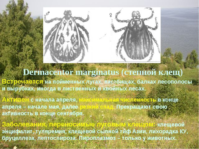 Dermacentor marginatus (степной клещ) Встречается на пойменных лугах, пастбищ...