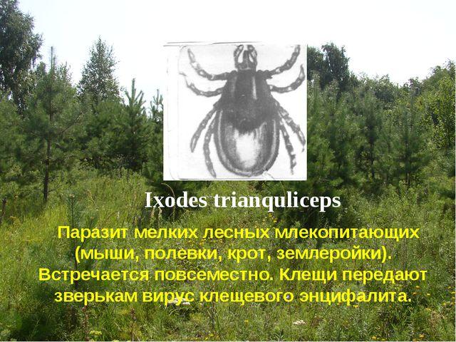 Ixodes trianquliceps Паразит мелких лесных млекопитающих (мыши, полевки, крот...