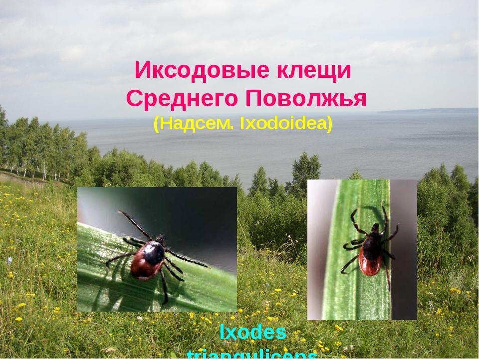 Иксодовые клещи Среднего Поволжья Ixodes trianquliceps (Надсем. Ixodoidea)