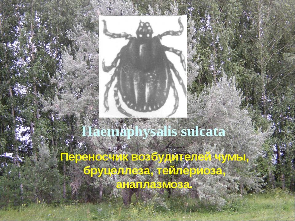 Haemaphysalis sulcata Переносчик возбудителей чумы, бруцеллеза, тейлериоза, а...
