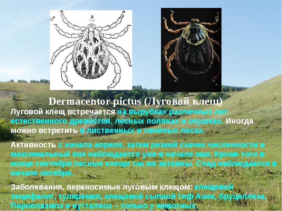 Луговой клещ встречается на вырубках различных лет естественного древостоя, л...