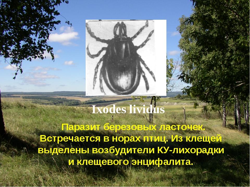 Ixodes lividus Паразит березовых ласточек. Встречается в норах птиц. Из клеще...