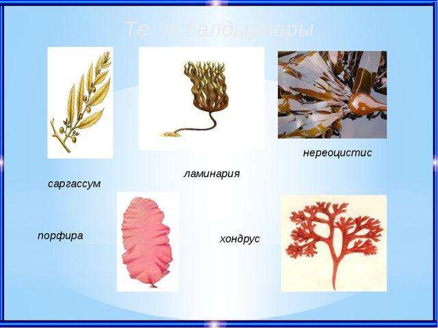 Теңіз балдырлары саргассум ламинария нереоцистис порфира хондрус