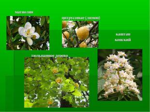 магнолия цитрусовые (лимон) каштан конский тюльпанное дерево