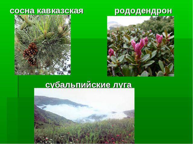 сосна кавказская рододендрон субальпийские луга