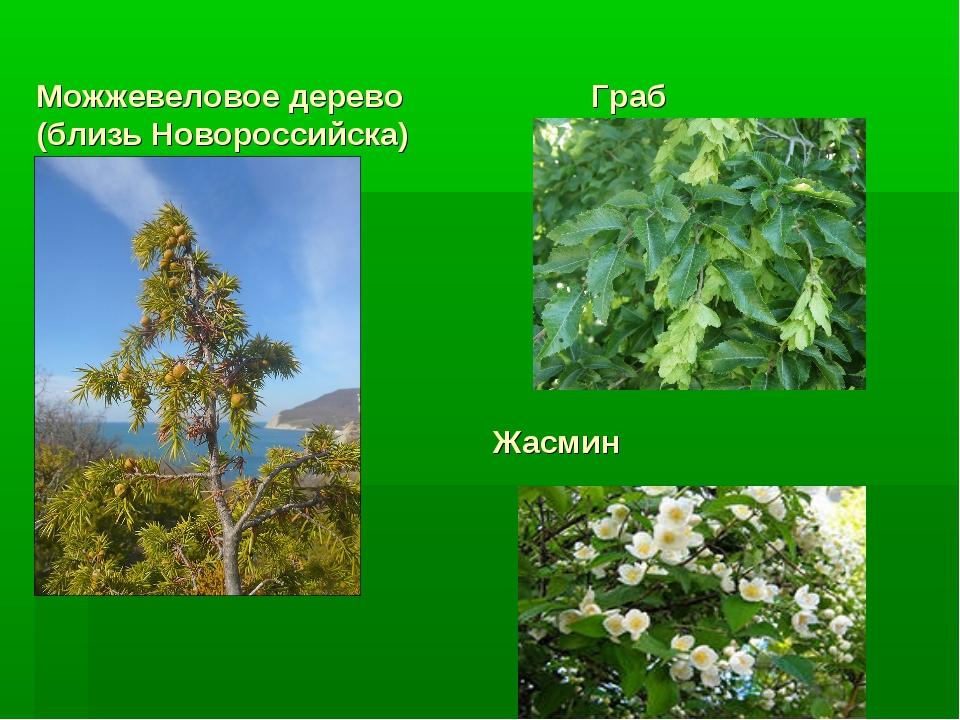Можжевеловое дерево Граб (близь Новороссийска) Жасмин