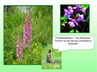 Познакомьтесь – это Кокушник. Растет он на лесных полянках и опушках.
