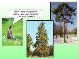 Также часто встречаются хвойные деревья, такие как сосна и лиственница