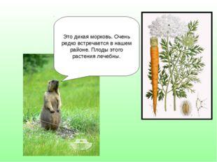 Это дикая морковь. Очень редко встречается в нашем районе. Плоды этого растен