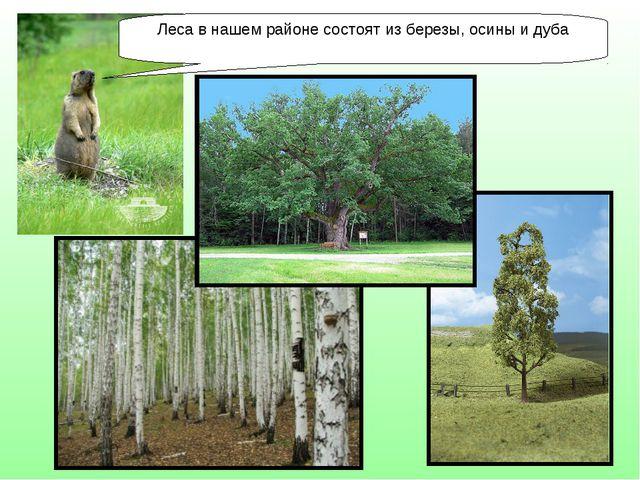 Леса в нашем районе состоят из березы, осины и дуба